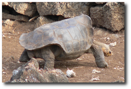 George Il Solitario, Geochelone nigra abingdoni,tartaruga gigante